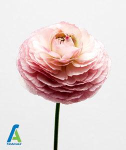 1 گل مناسب روز ولنتاین