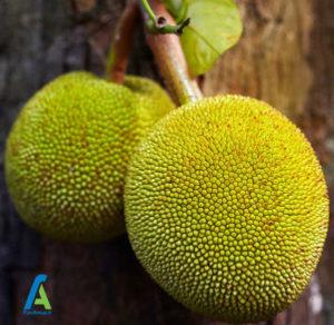 1 خواص میوه درخت نان