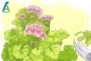 1 مراقبت از گل شمعدانی