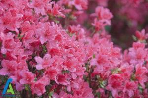 1 گل های ایمن برای افراد آلرژیک