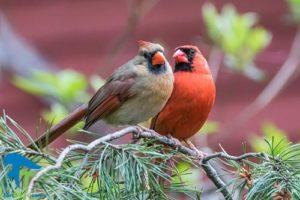 1 علت آواز خواندن پرندگان ماده