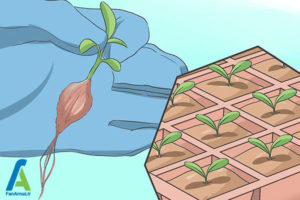 3 مراحل پرورش گل مینا