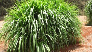 Photo of چگونه گیاه پنی ستوم را در خانه کاشته و پرورش دهیم؟