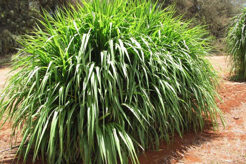 5 پرورش گیاه پنی ستوم یا علف فیل