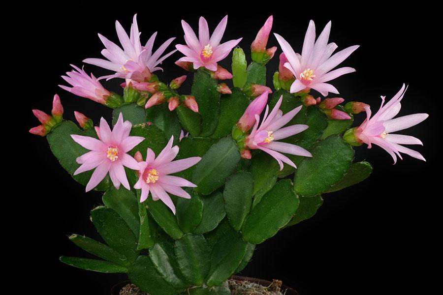 8 گل دهی کاکتوس عید پاک