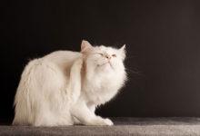 Photo of چگونه خارش پوست گربه را درمان کرده و مانع چنگ زدن به پوست خوش شویم؟