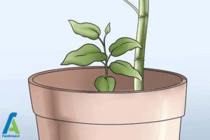 8 پرورش گل کلماتیس در گلدان