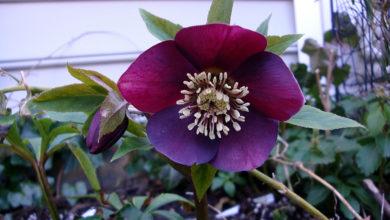 Photo of چگونه از گل رز لِنتون Lenton Rose مراقبت کنیم؟