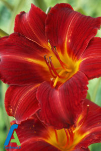 13 معرفی گل های تابستانی