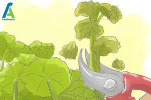 11 مراقبت از گل شمعدانی