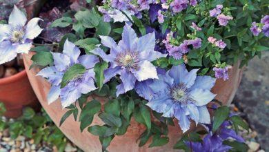 Photo of چگونه گل کلماتیس را در گلدان کاشته و پرورش دهیم؟