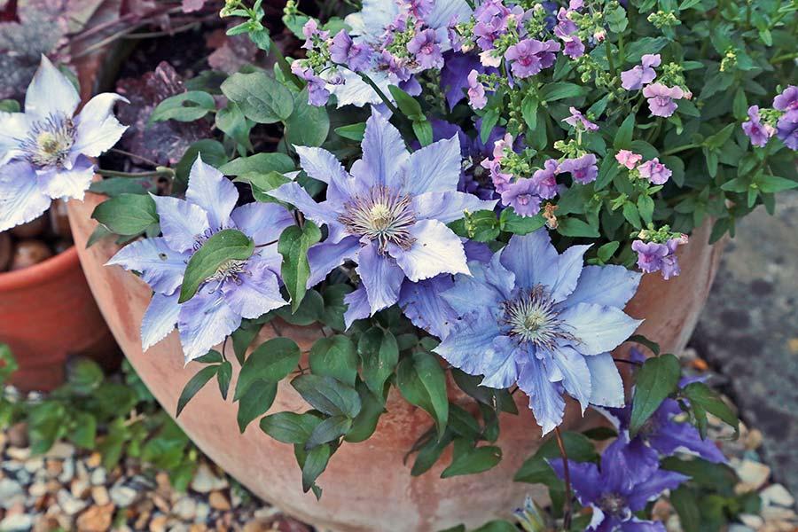 10 پرورش گل کلماتیس در گلدان