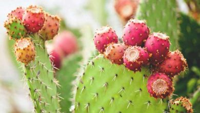 Photo of چگونه آب کاکتوس میوه دار را بگیریم؟