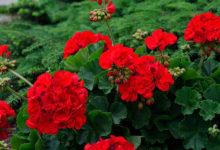 Photo of چگونه از گل شمعدانی در زمستان مراقبت و نگهداری کنیم؟