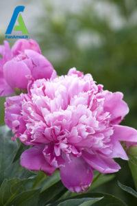 17 معرفی گل های تابستانی