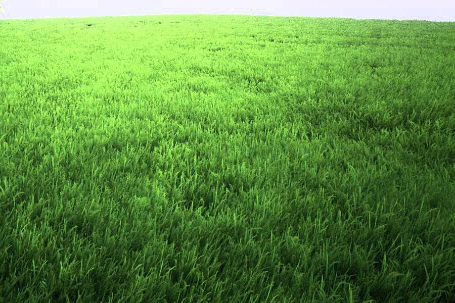 13 اصول کاشت چمن و تسریع رشد آن