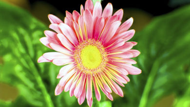 Photo of چگونه گل مینا Asters را در منزل پرورش دهیم؟