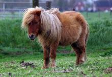 Photo of چگونه از یک اسب مینیاتوری نگهداری کنیم؟