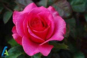 19 گل های ایمن برای افراد آلرژیک