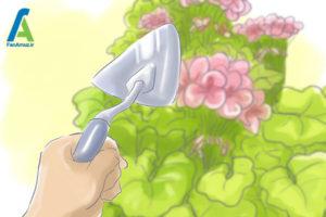 2 مراقبت از گل شمعدانی