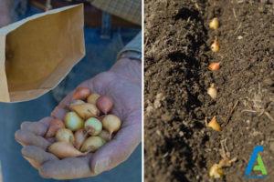 1 کاشت پیاز در باغچه