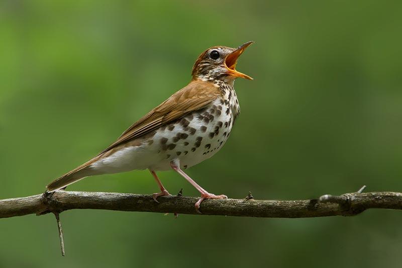 2 علت آواز خواندن پرندگان ماده