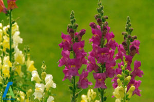 20 گل های ایمن برای افراد آلرژیک