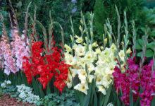 Photo of چگونه گل گلایول را پرورش دهیم؟