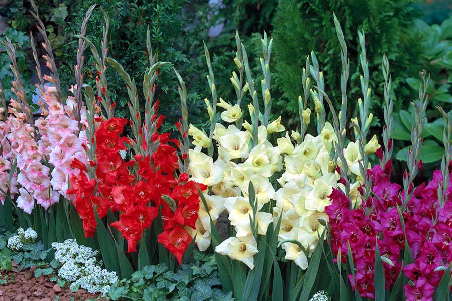 23 پرورش گل گلایول