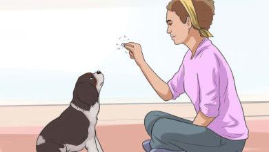 Photo of چگونه یک سگ کوکر اسپانیل را نگهداری و تربیت کنیم | قسمت دوم