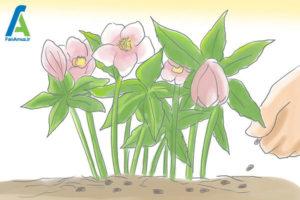 2 مراقبت از گل رز لنتون