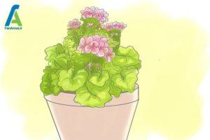 3 مراقبت از گل شمعدانی