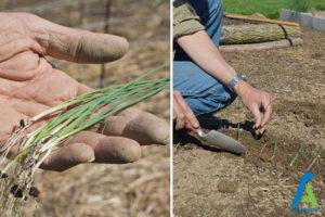 2 کاشت پیاز در باغچه