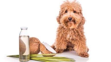 Photo of روغن نارگیل چه خواص و فوایدی برای حیوانات خانگی دارد؟