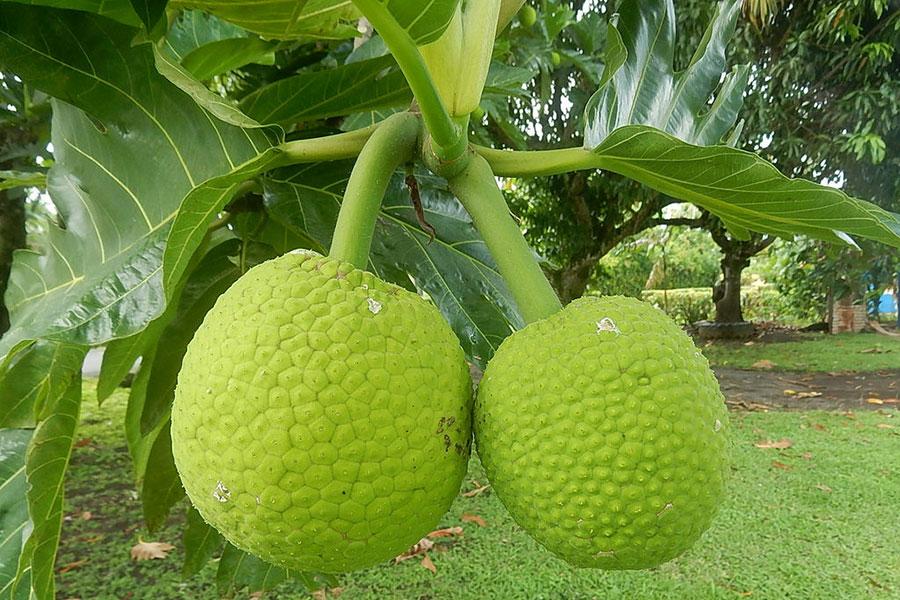 2 خواص میوه درخت نان