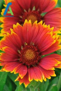4 معرفی گل های تابستانی