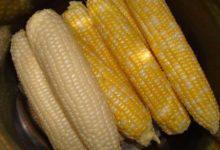 Photo of تفاوت بین ذرت زرد و سفید چیست؟