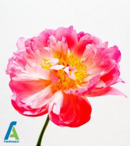 5 گل مناسب روز ولنتاین