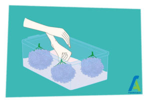 3 خشک کردن گل ادریسی