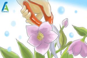 3 مراقبت از گل رز لنتون