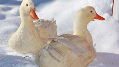 Photo of چگونه در فصل زمستان از اردک ها مراقبت و نگهداری کنیم؟