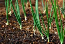 Photo of چگونه پیاز ارگانیک را به سه روش متفاوت در باغچه خانه بکاریم؟