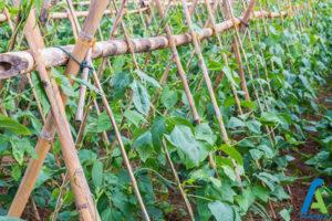 5 افزایش باردهی سبزیجات