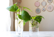 Photo of چگونه گل پتوس (پوتوس) POTHOS را در آب پرورش دهیم؟