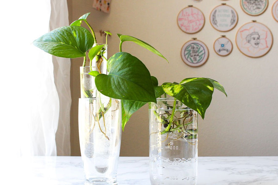 5 نحوه پرورش گل پتوس در آب