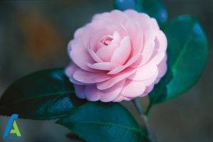 5 گل های ایمن برای افراد آلرژیک