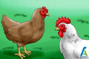 6 جلوگیری از بروز بیماری مرغ ها