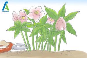 4 مراقبت از گل رز لنتون