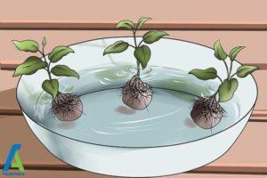 5 پرورش گل کلماتیس در گلدان