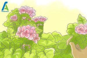 5 مراقبت از گل شمعدانی